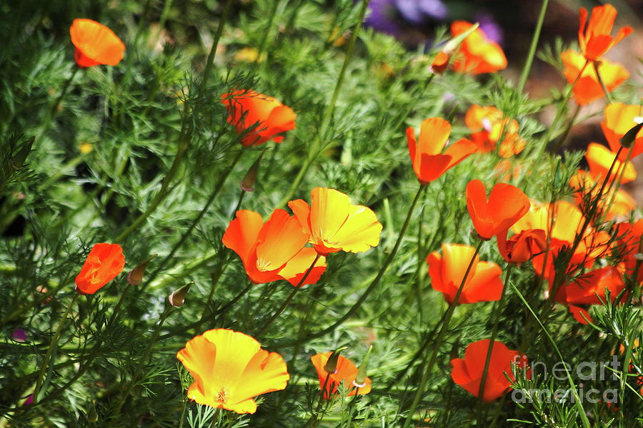 Orange Poppy Flowers . R1269 Photograph  - Orange Poppy Flowers . R1269 Fine Art Print