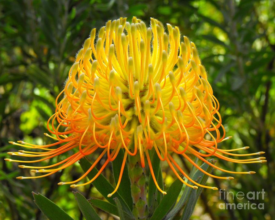 Flower Photograph - Orange Protea Flower Art by Rebecca Margraf