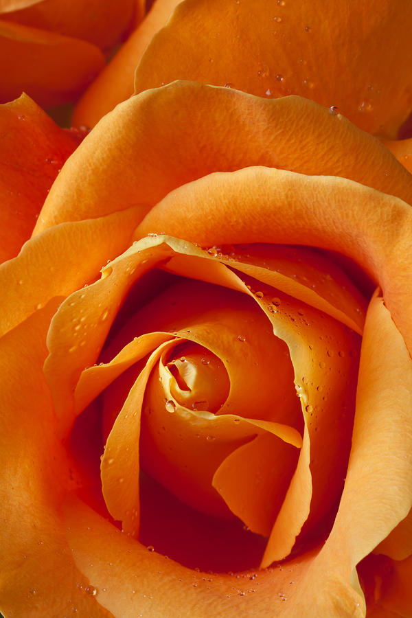 Orange Rose Close Up Photograph