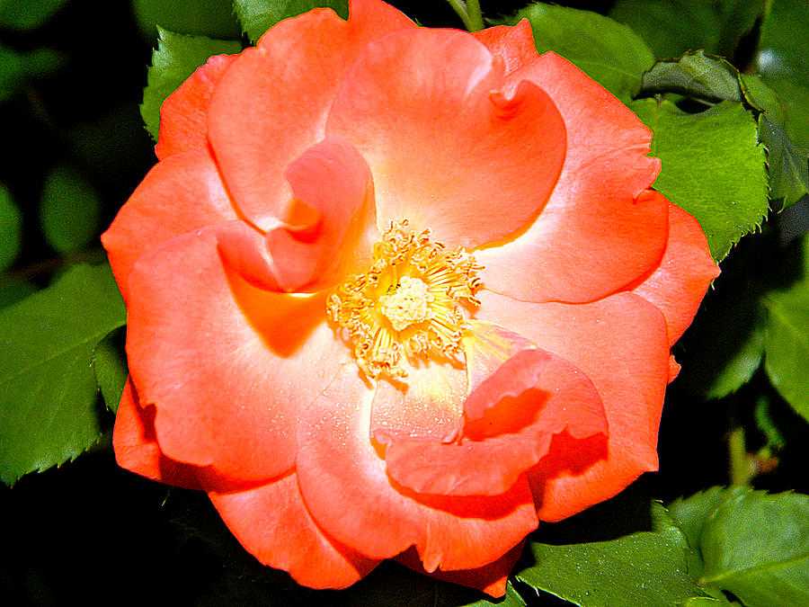 Orange Rose Canvas Prints Photograph - Orange Rose  by Ester  Rogers