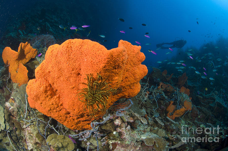 Invertebrate Photograph - Orange Sponge With Crinoid Attached by Steve Jones