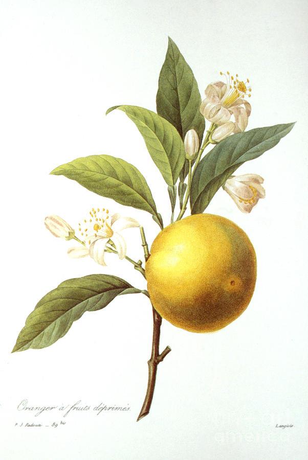 Orange Tree Photograph