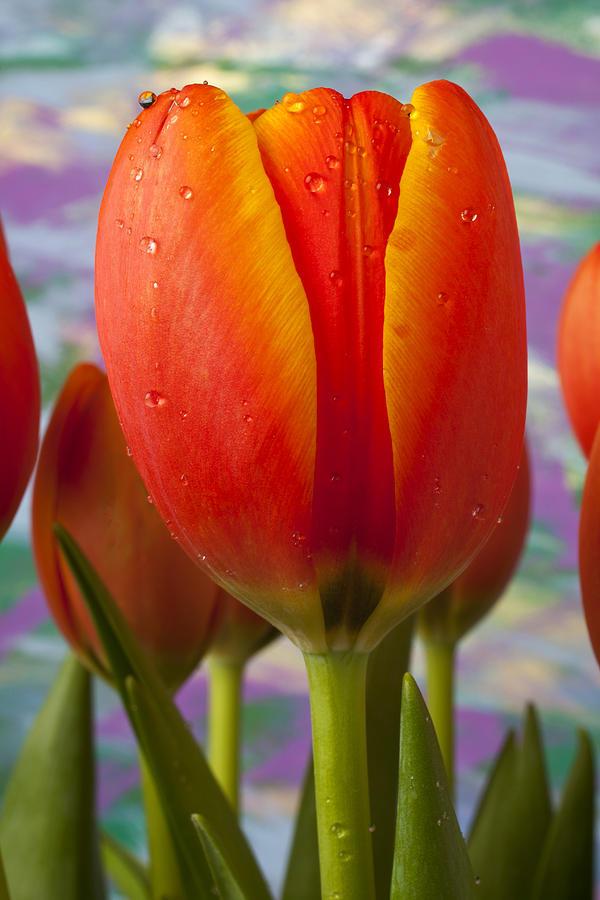 Orange Yellow Tulip Photograph - Orange Tulip Close Up by Garry Gay
