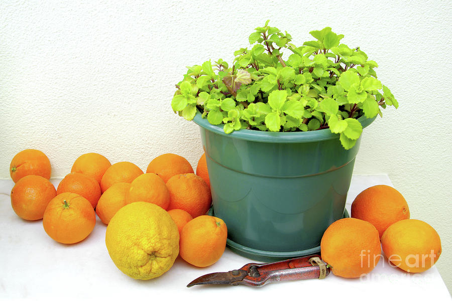 Oranges And Vase Photograph  - Oranges And Vase Fine Art Print