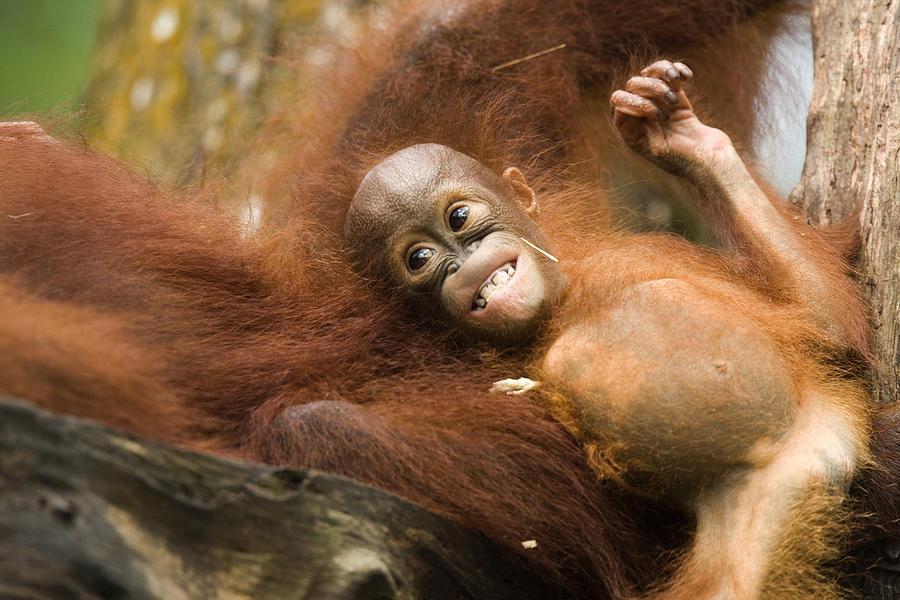 Two Animals Photograph - Orangutan Pongo Pygmaeus.  Juvenile by Tim Laman