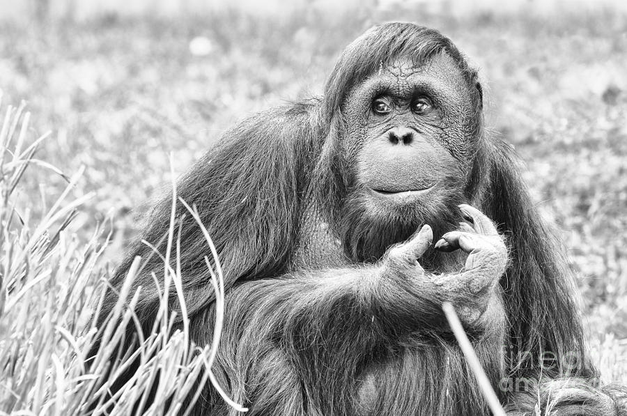 Orangutan Photograph - Orangutan by Scott Hansen