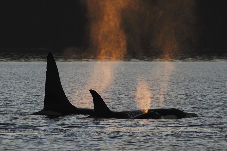Orca Orcinus Orca Resident Pod Photograph