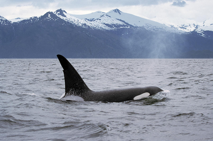 Orca Orcinus Orca Surfacing Photograph