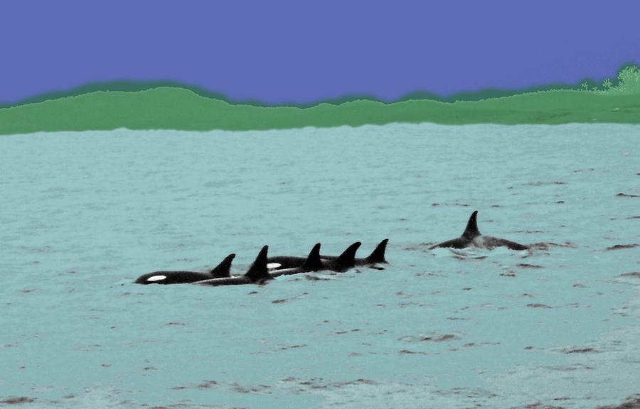 Orca Pod Photograph