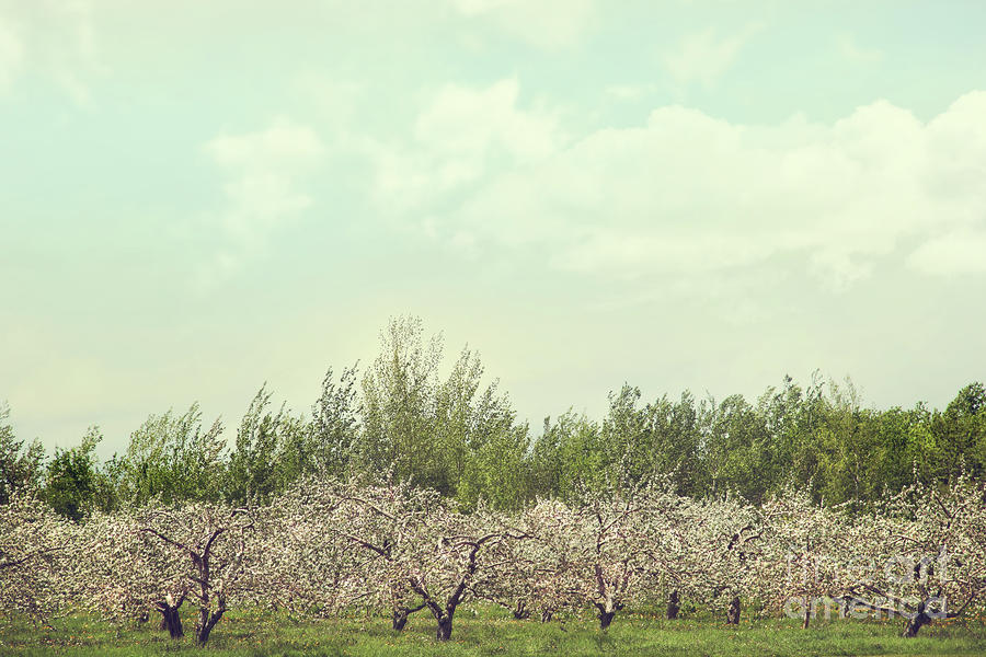 Orchard Of Apple Blossoming Tees Photograph  - Orchard Of Apple Blossoming Tees Fine Art Print