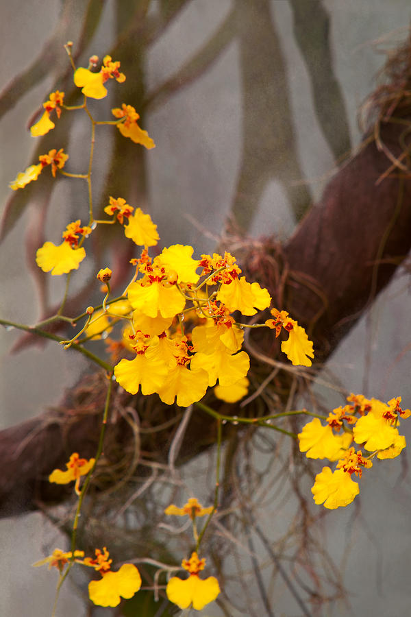 Orchid - Golden Morning  Photograph  - Orchid - Golden Morning  Fine Art Print