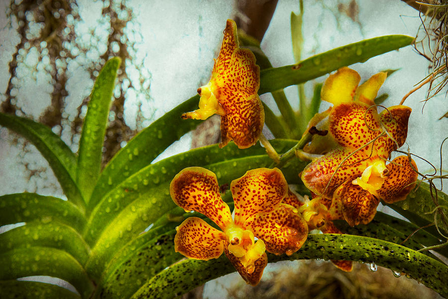 Orchid - Oncidium - Ripened   Photograph