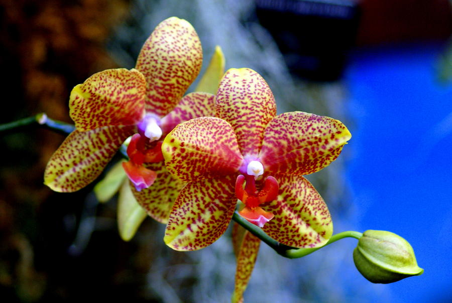 Orchid 17 Photograph