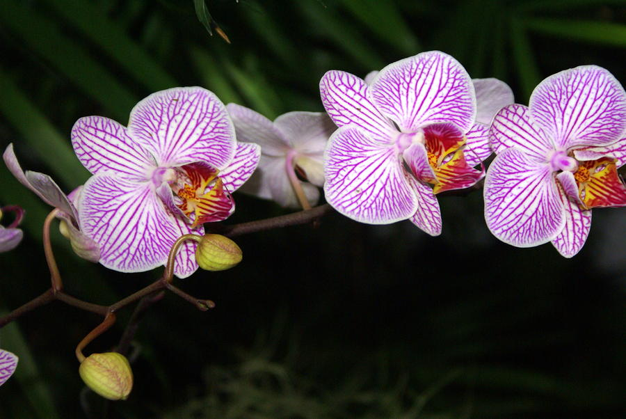 Orchid 2 Photograph