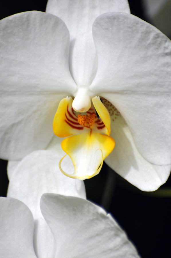 Orchid 23 Photograph