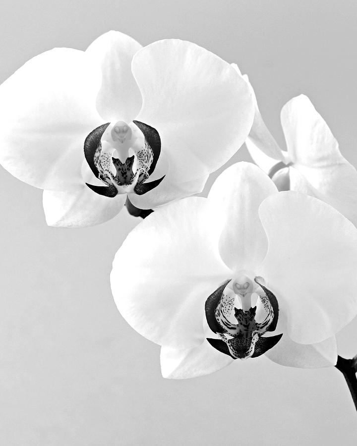 Orchid 3- St Lucia Photograph  - Orchid 3- St Lucia Fine Art Print