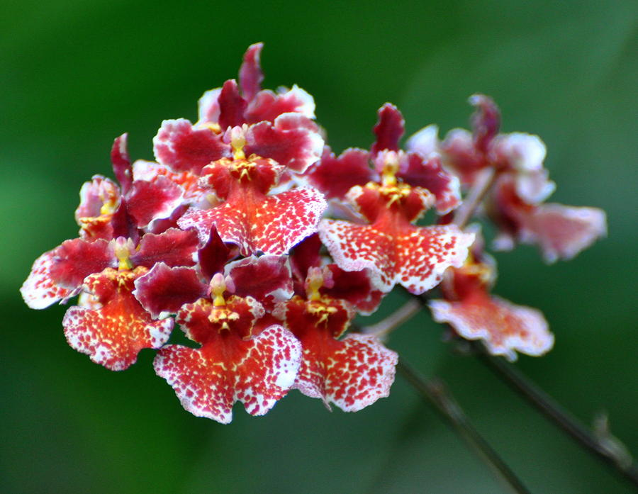 Orchid 31 Photograph