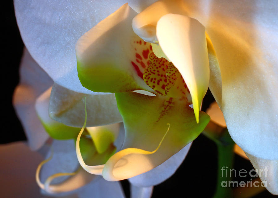 Orchid Mask No. 2 Photograph  - Orchid Mask No. 2 Fine Art Print