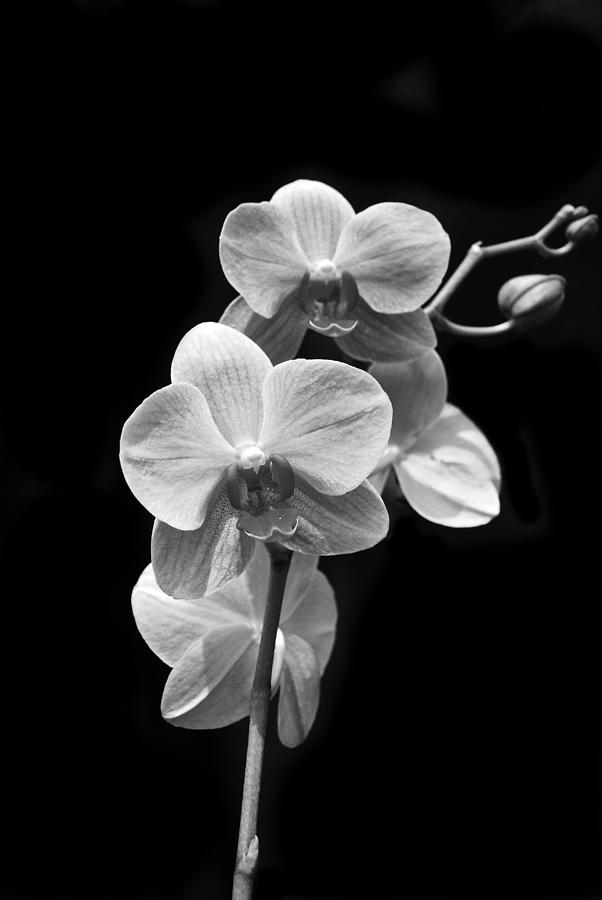 Orchids Black And White by Michael Peychich