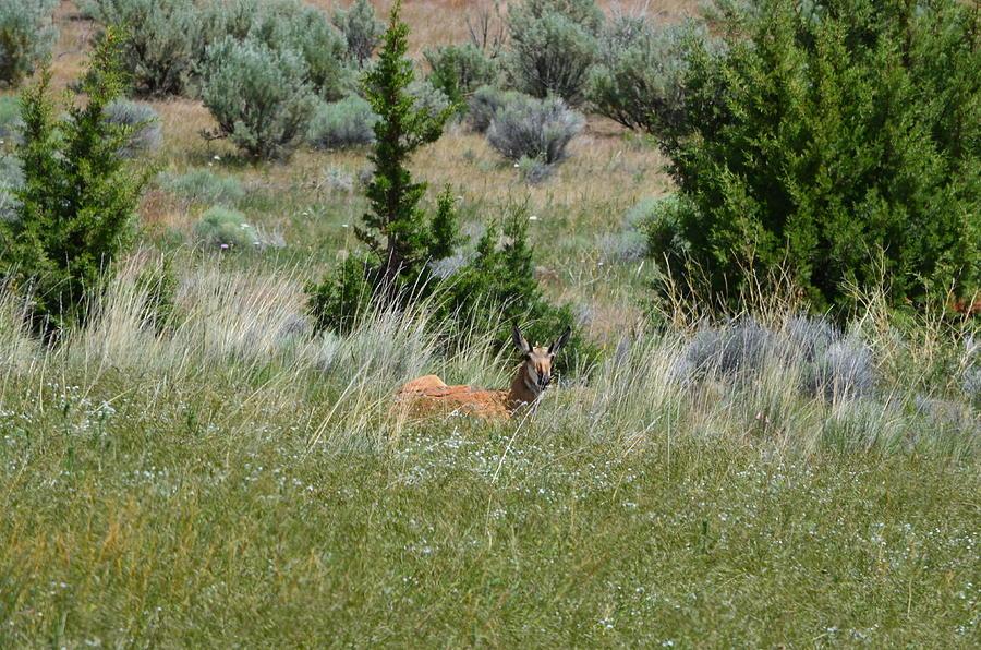 Oregon Antelope Photograph