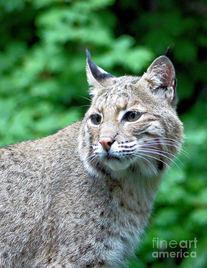 Oregon Bobcat Photograph