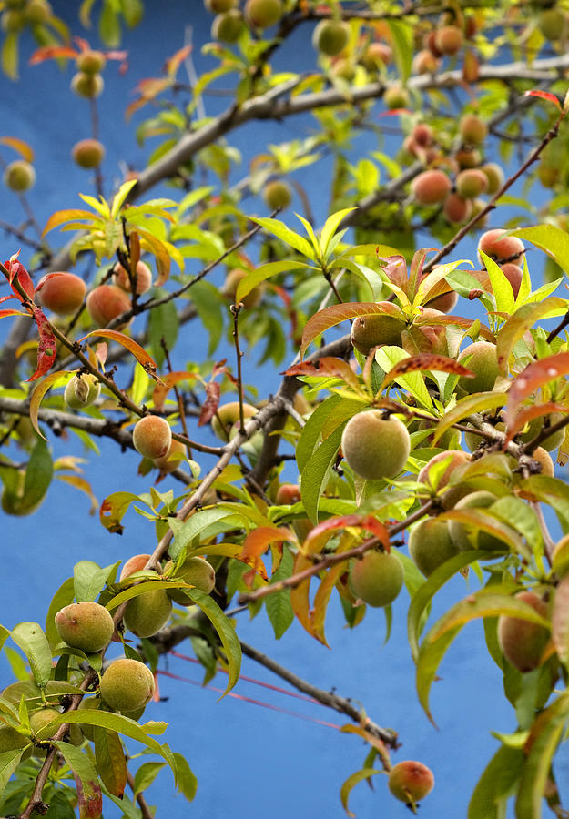 Organic Peach Tree, Photograph