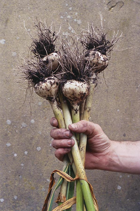 Serpent Garlic Photograph - Organic Serpent Garlic by Maxine Adcock