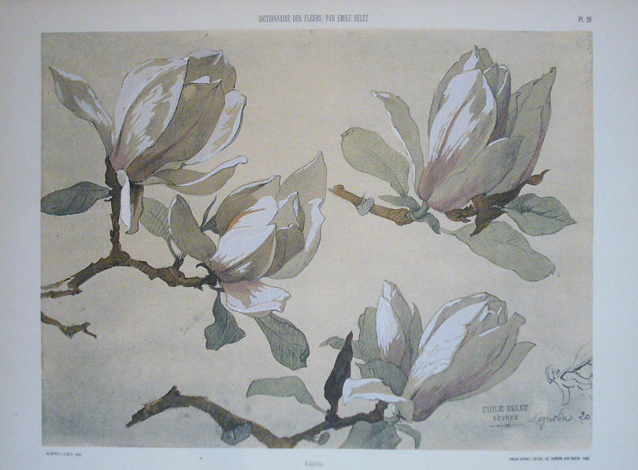 Original French Magnolia Flower Print C 1900 Painting 