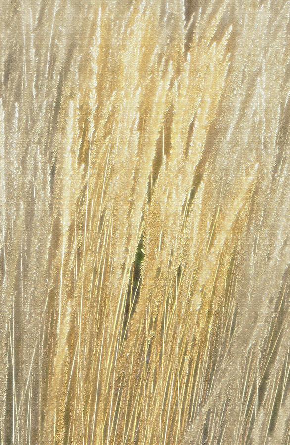 Ornamental grass golden wheat look by steve ohlsen for Ornamental grass that looks like wheat
