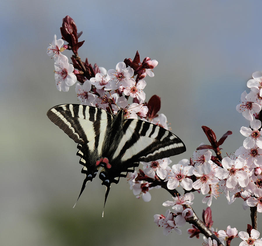 Ornamental Plum Blossoms With Zebra Swallowtail Photograph