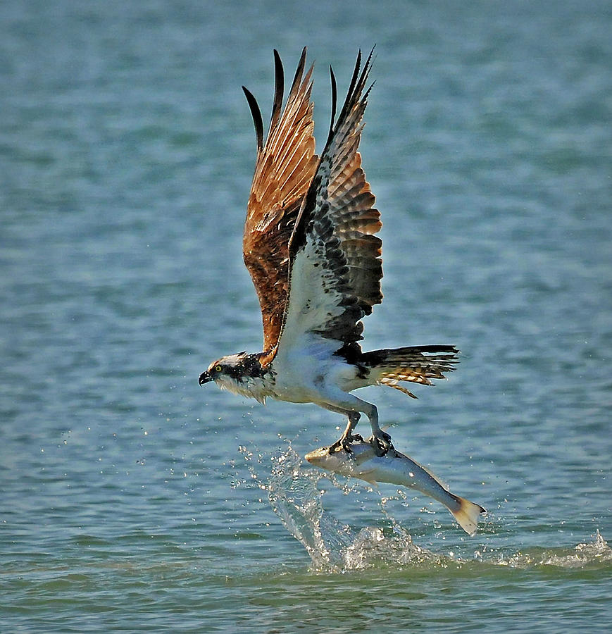 osprey catching a fish photograph by dave mills