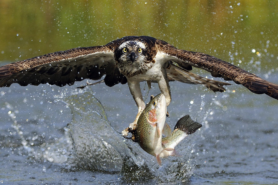Osprey Catching Trout Photograph  - Osprey Catching Trout Fine Art Print