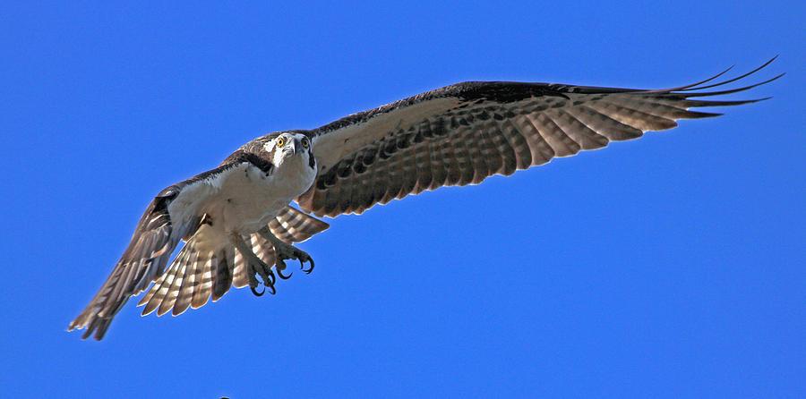 Osprey Photograph - Osprey Flight by Larry Nieland
