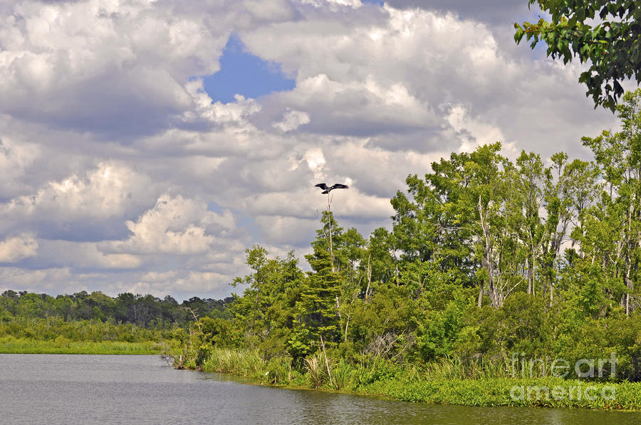Osprey From Flight Photograph