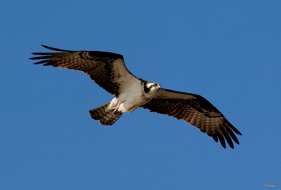 Osprey or fish hawk drb012 photograph by gerry gantt for Fish hawk bird