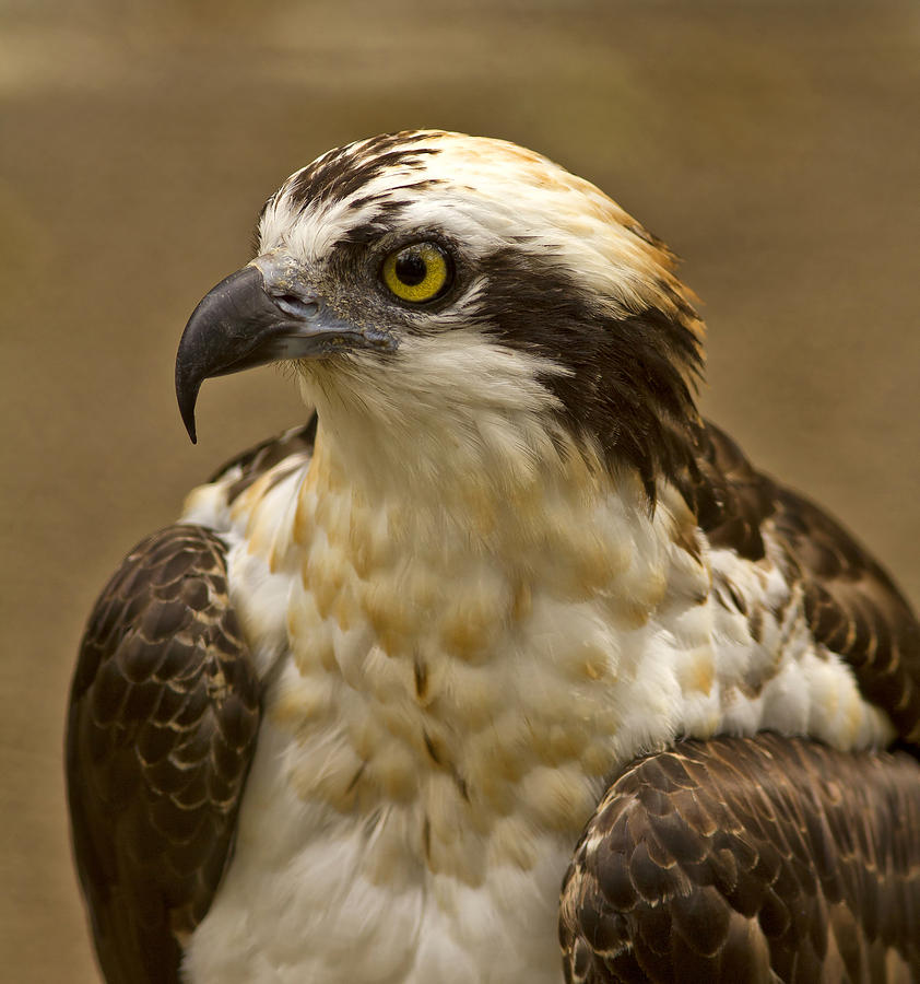 Osprey Portrait Photograph
