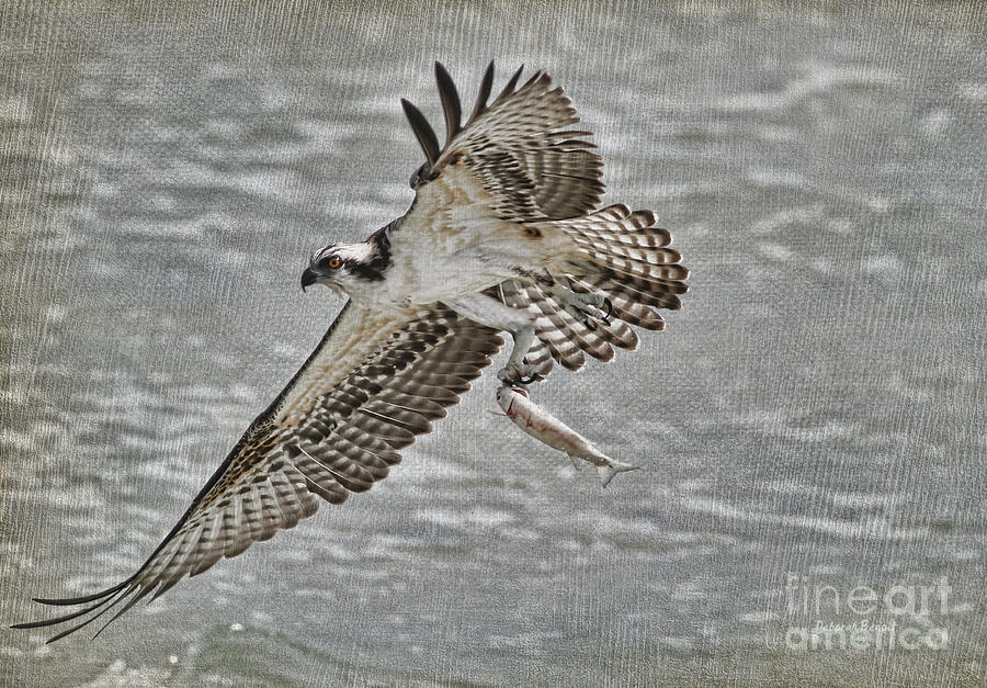 Osprey With Breakfast Photograph  - Osprey With Breakfast Fine Art Print