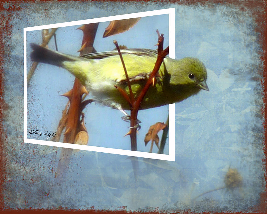 Out Of Bounds Female Goldfinch Photograph  - Out Of Bounds Female Goldfinch Fine Art Print