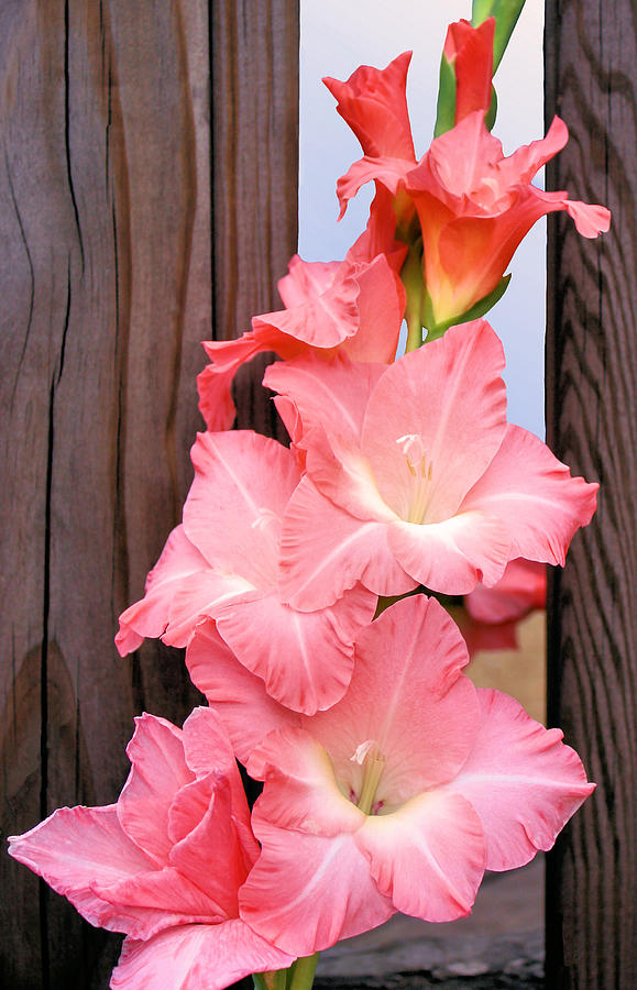 Gladiolus Photograph - Out Of Bounds by Kristin Elmquist