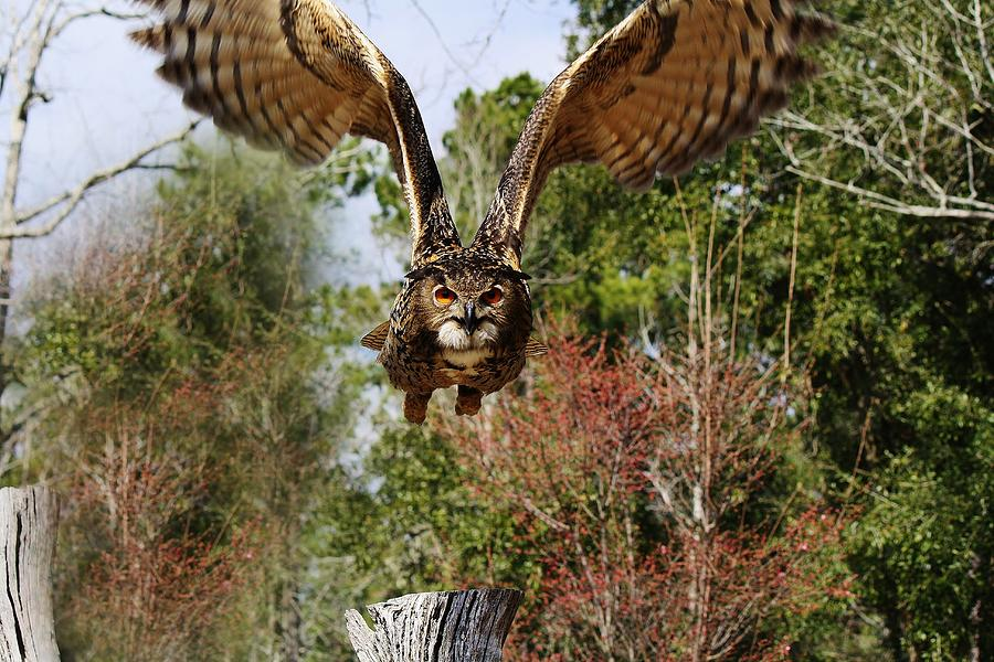 Owl In Flight Photograph