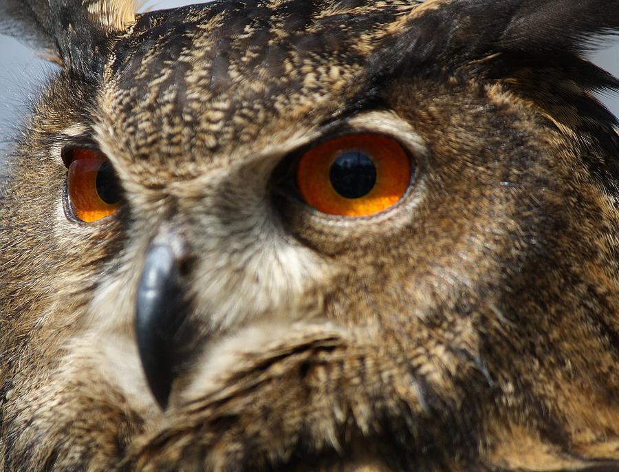 Owl Photograph - Owl Up Close by Paulette Thomas