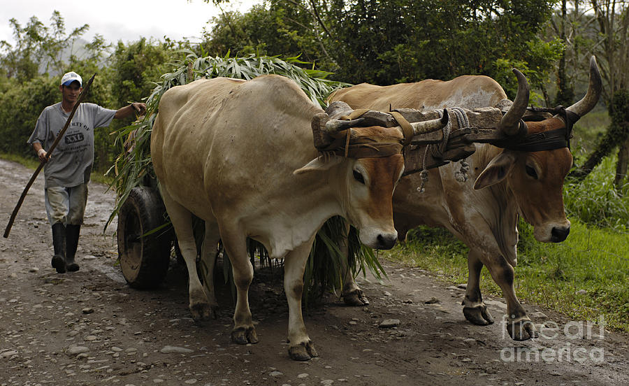 Oxen Costa Rica is a photograph by Bob Christopher which was uploaded ...