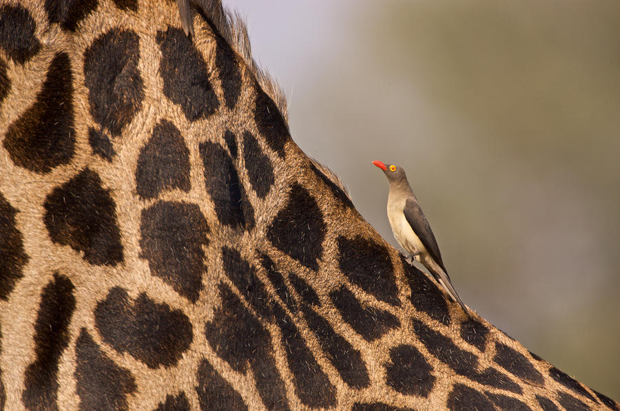 Oxpecker On Giraffe Back Photograph