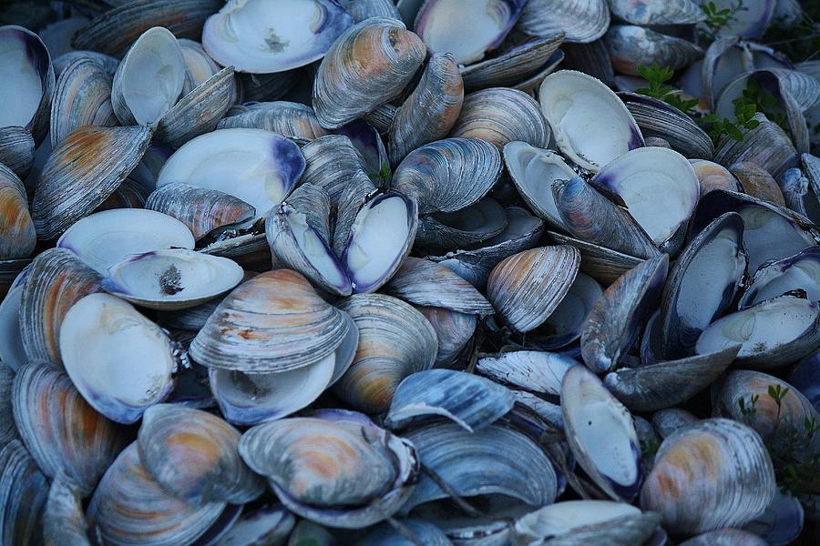 Oyster Shells For Sell Oyster Shells Photograph