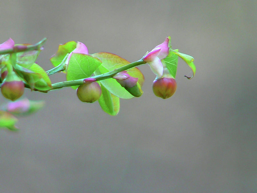 Pacific Huckleberry Photograph