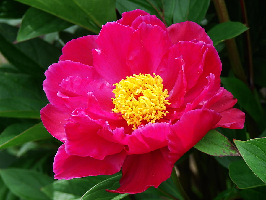 Paeony Photograph