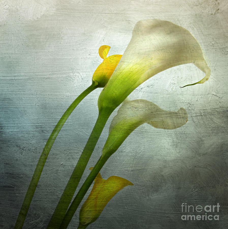 Painted Arum Photograph  - Painted Arum Fine Art Print