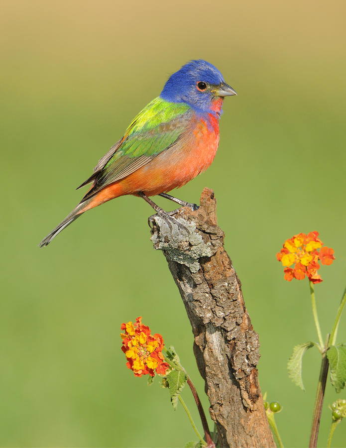 Painted Bunting Photograph  - Painted Bunting Fine Art Print