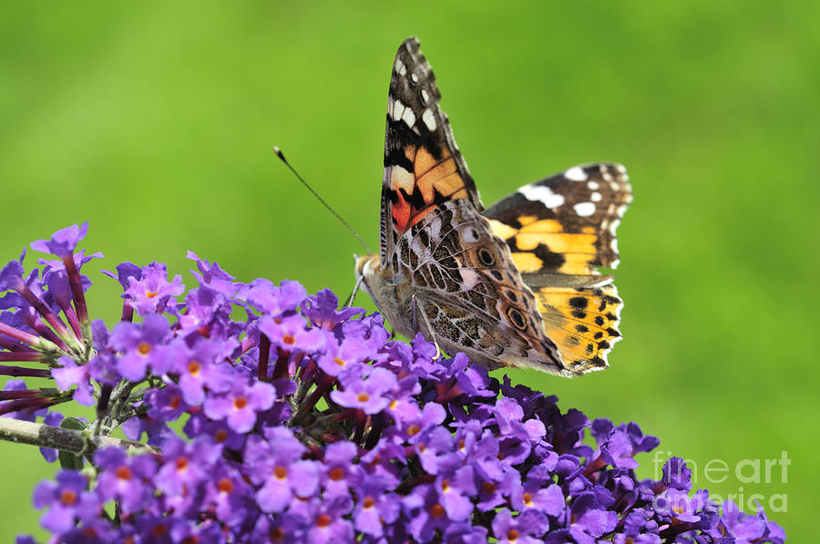 Painted Lady Butterfly On A Buddleia Photograph  - Painted Lady Butterfly On A Buddleia Fine Art Print