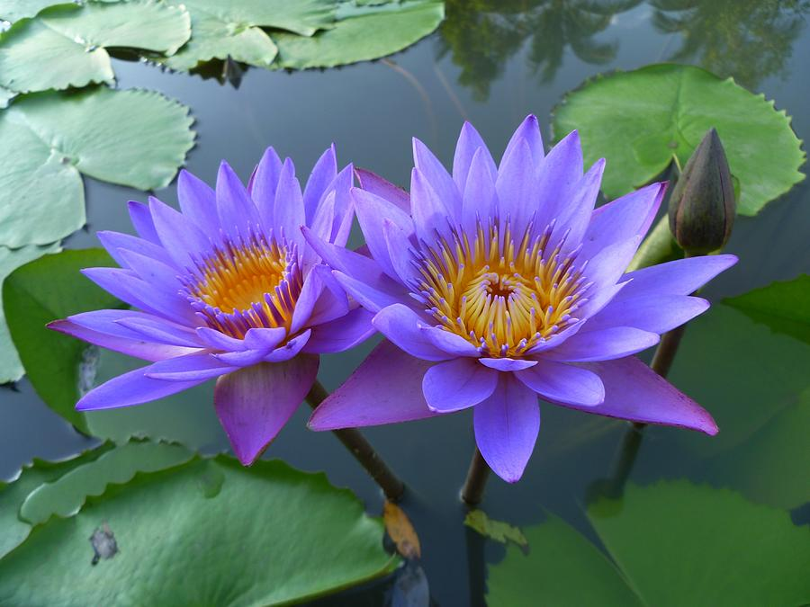 Pair Of Purple Lotuses Photograph  - Pair Of Purple Lotuses Fine Art Print